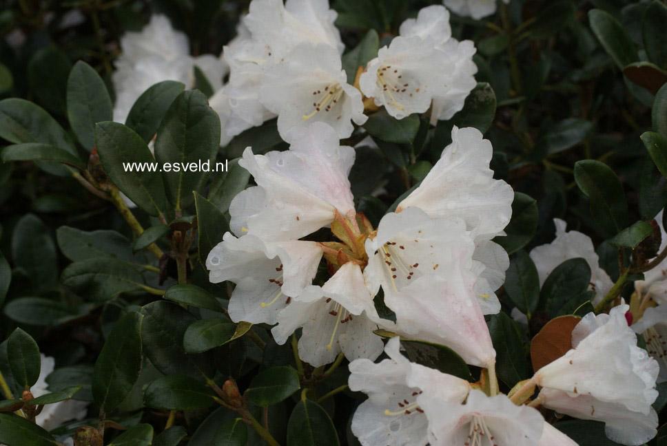 Rhododendron 'Berg's Queen Bee'