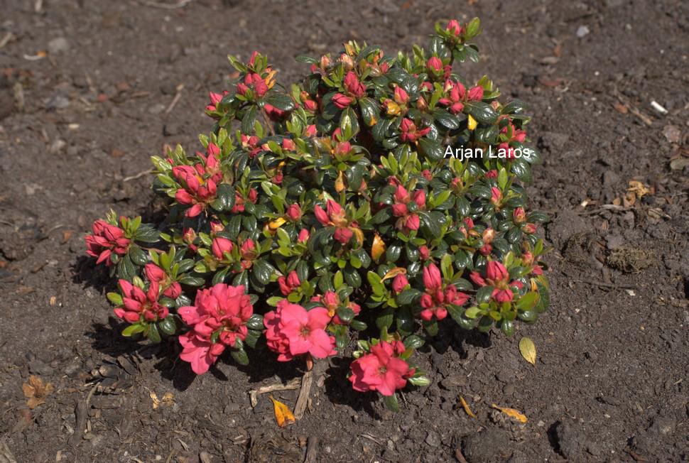 Rhododendron 'Gertrud' (Azalea)