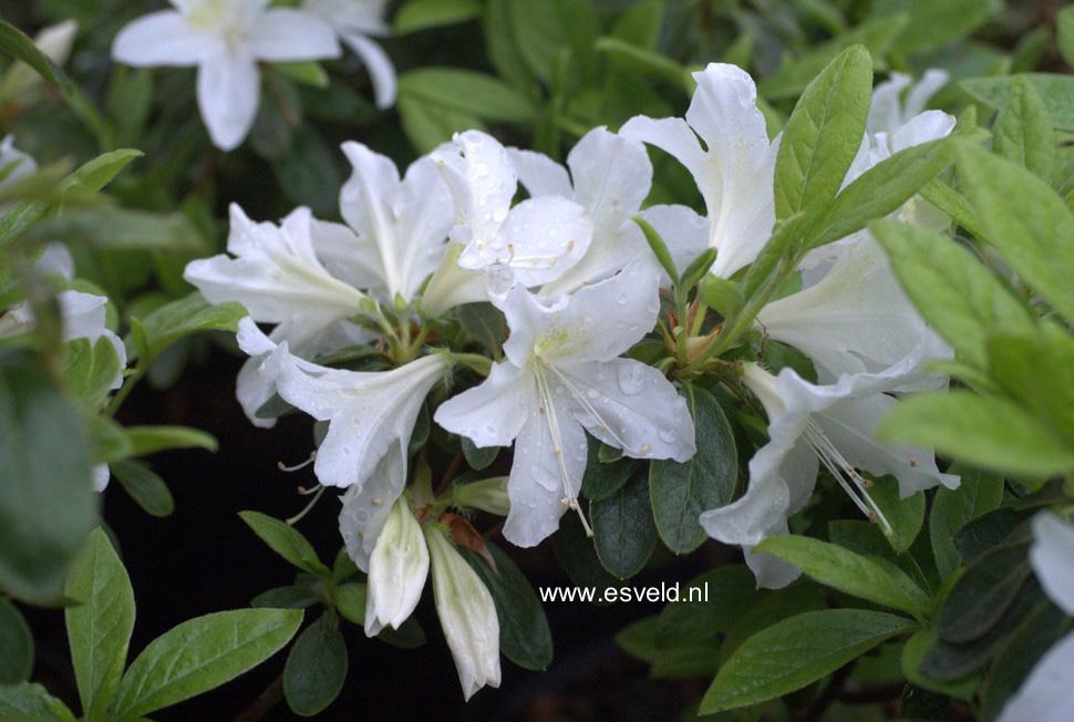 Rhododendron 'White Lady' (Azalea)
