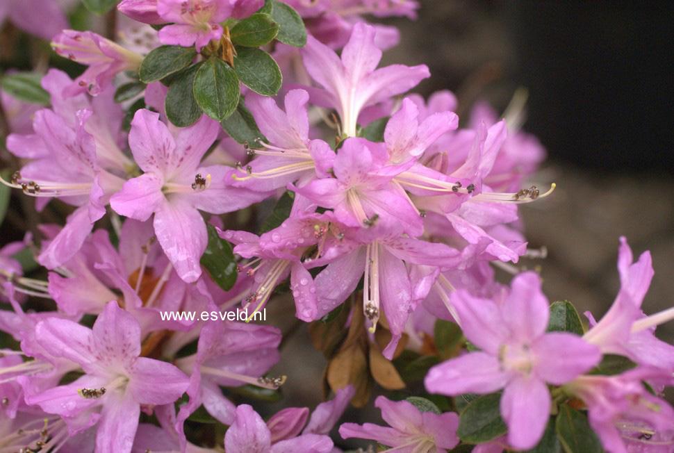 Rhododendron 'Omoi no sora' (Azalea)