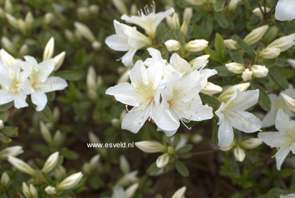 Rhododendron 'Everest' (Azalea)
