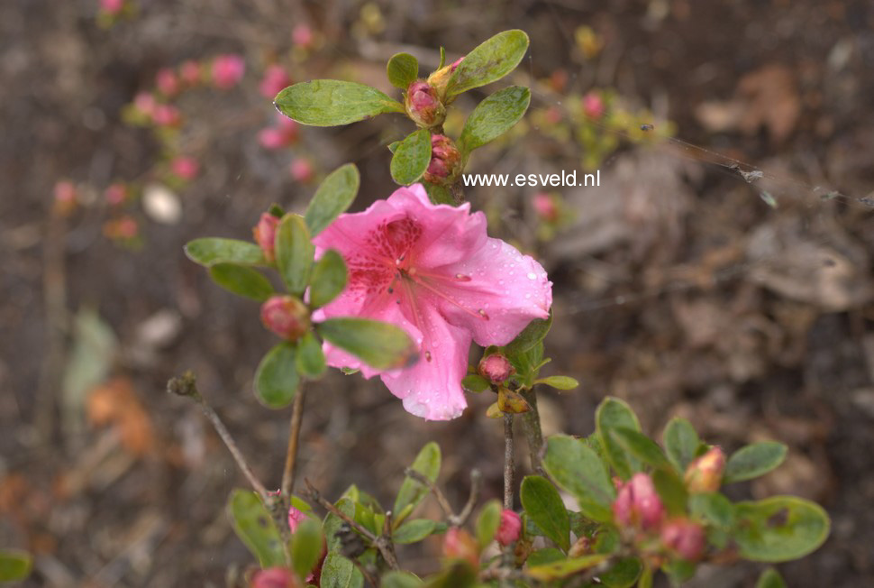 Rhododendron 'Mimi' (Azalea)