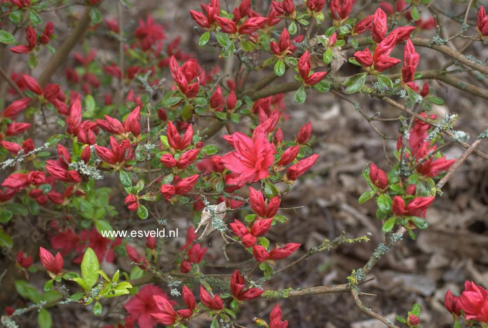 Rhododendron 'Campfire' (Azalea)