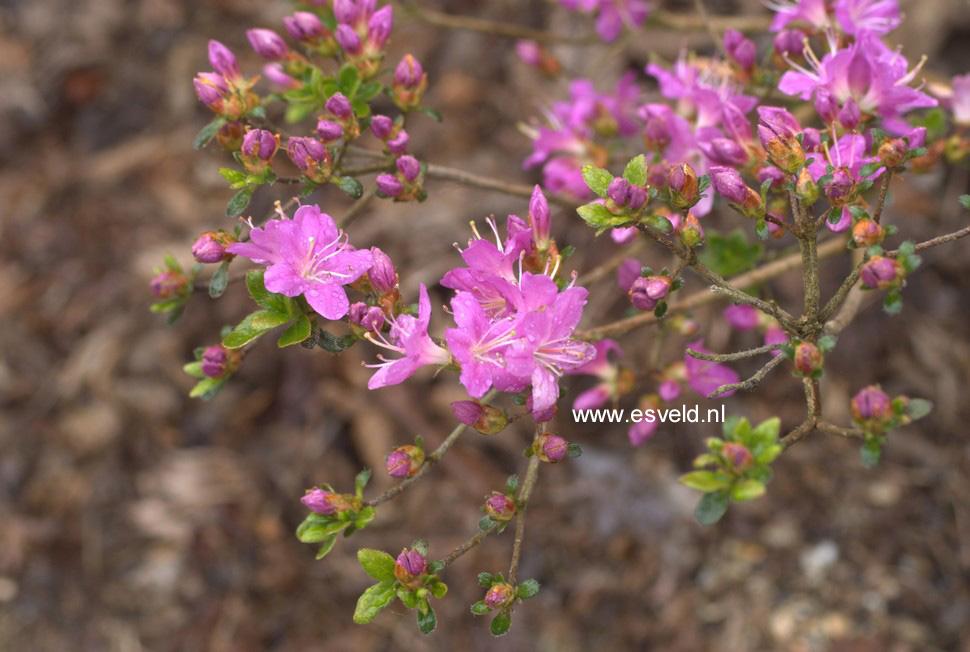 Rhododendron 'Fugen no tsuki' (Azalea)