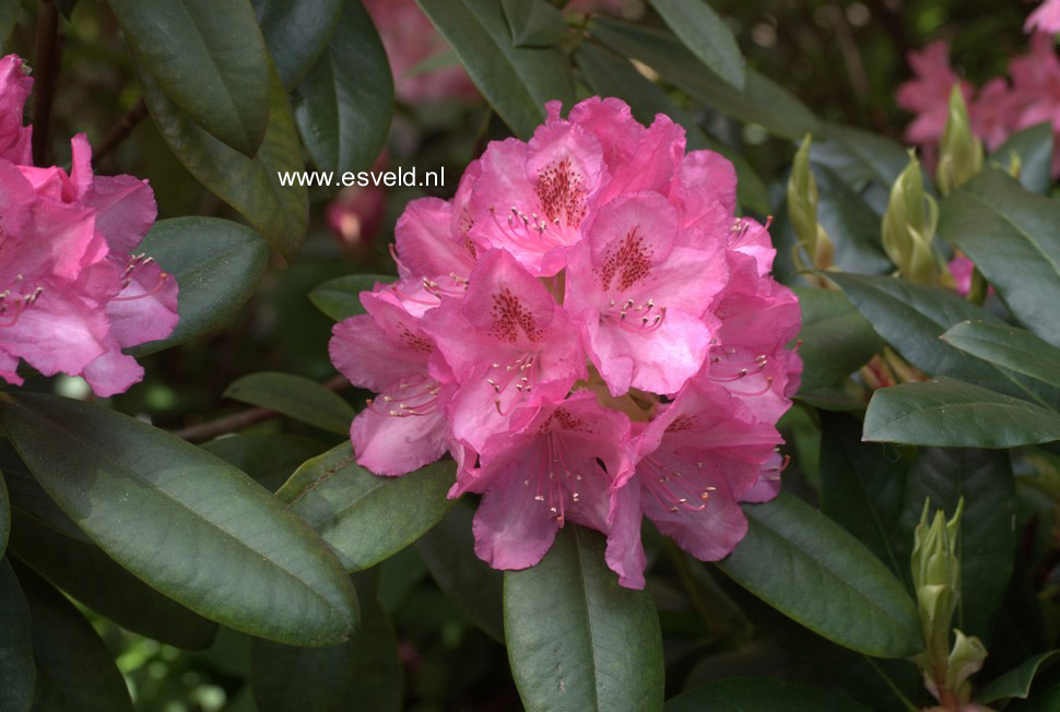 Rhododendron 'Merveille de Boskoop'