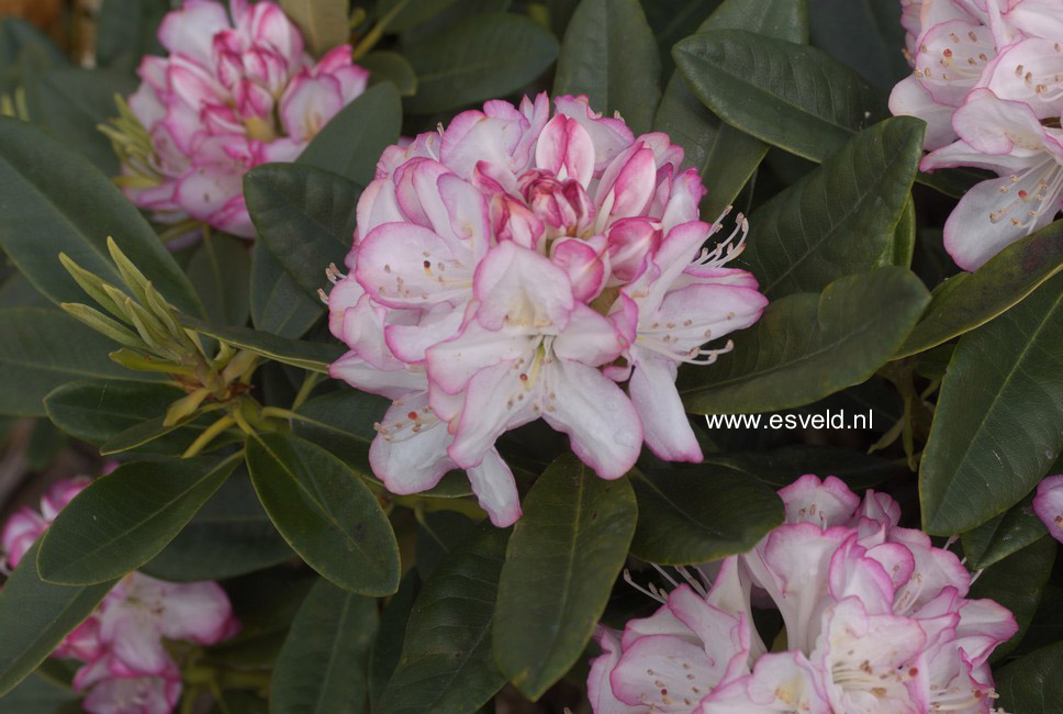 Rhododendron 'Picotee'