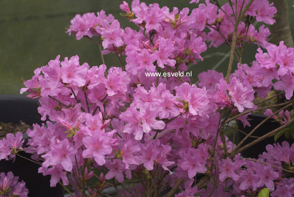 Rhododendron 'Jura' (Azalea)