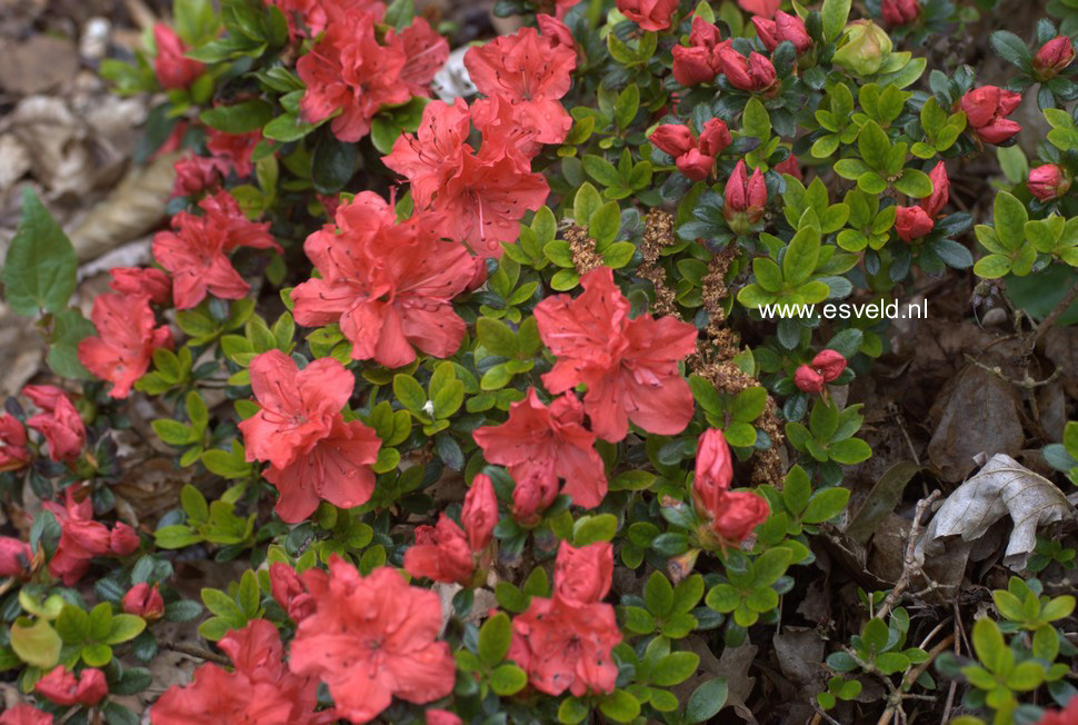 Rhododendron 'Satschiko' (GEISHA ORANGE) (Aza