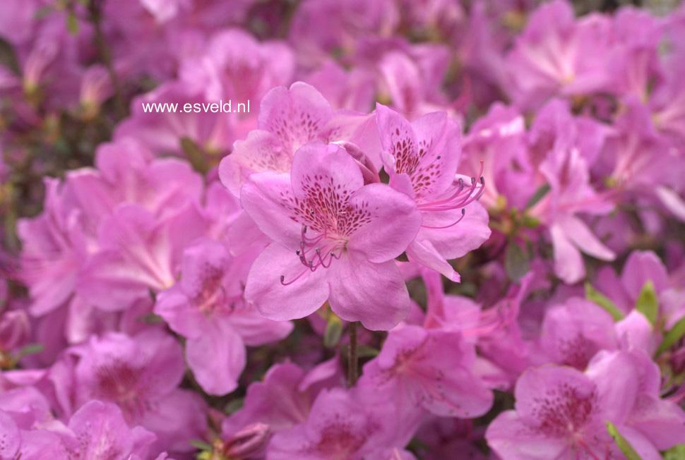 Rhododendron 'Viking' (Azalea)