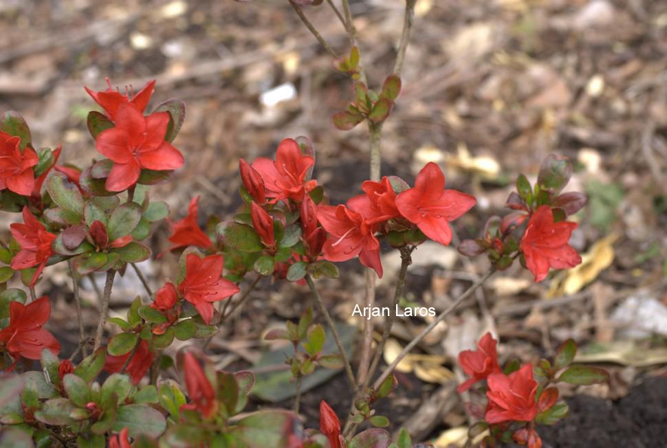Rhododendron 'Lola' (Azalea)