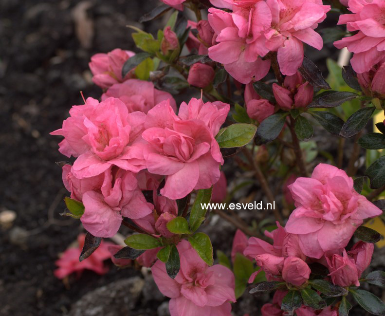 Rhododendron 'Edna Bee' (Azalea)