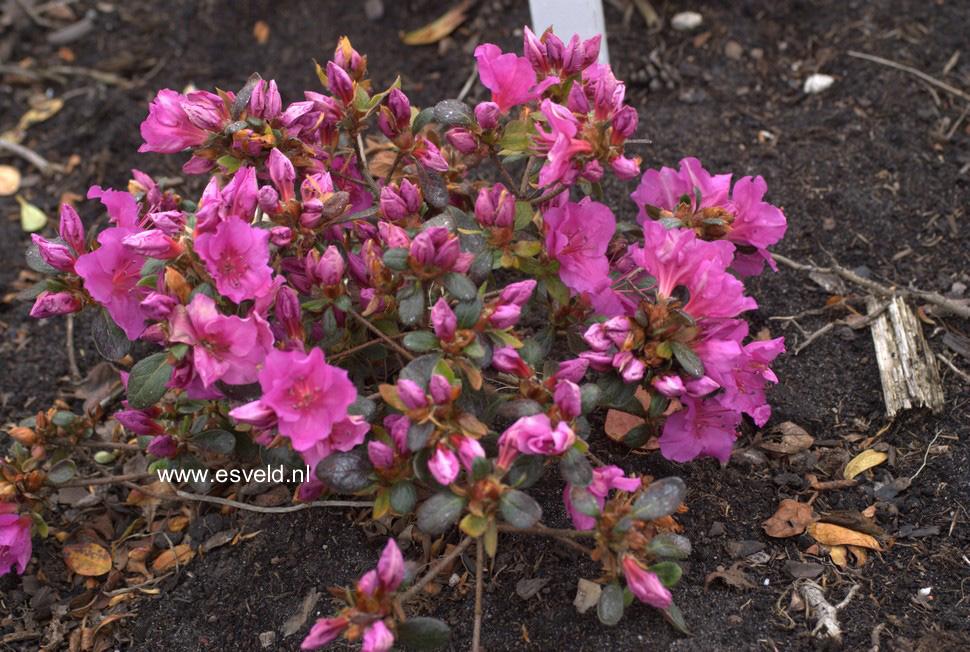 Rhododendron 'Velvet Gown' (Azalea)