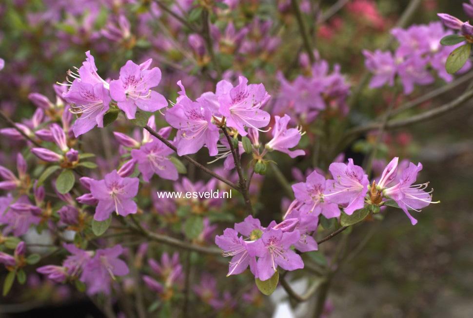 Rhododendron 'Tit Willow' (Azalea)