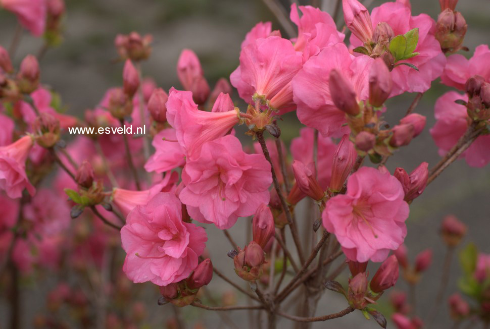 Rhododendron 'Hachbabu' (BABUSCHKA) (Azalea)