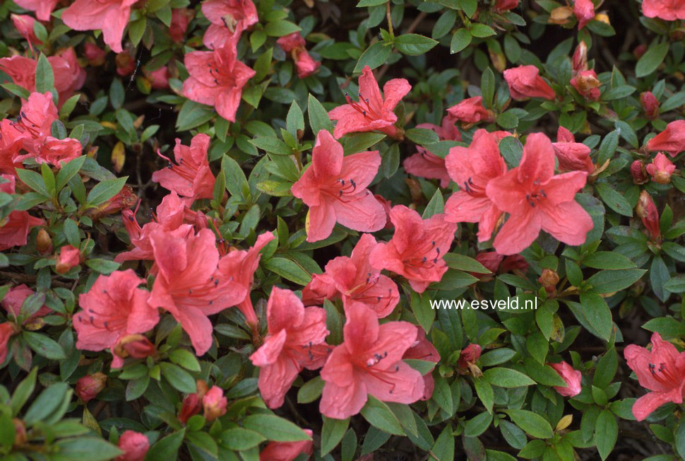 Rhododendron nakaharae 'Wintergreen'