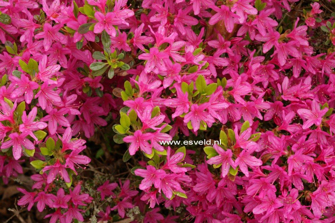 Rhododendron 'Hatsugiri' (Azalea)