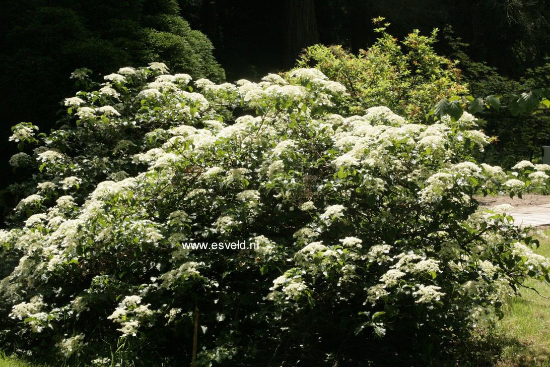 Hydrangea anomala petiolaris