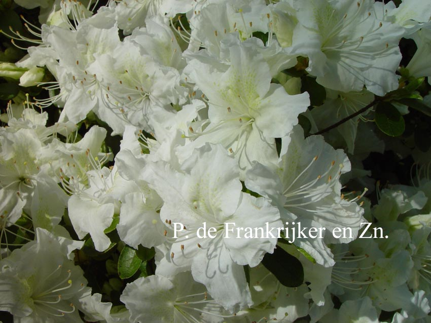 Rhododendron 'Marie's Choice' (Azalea)