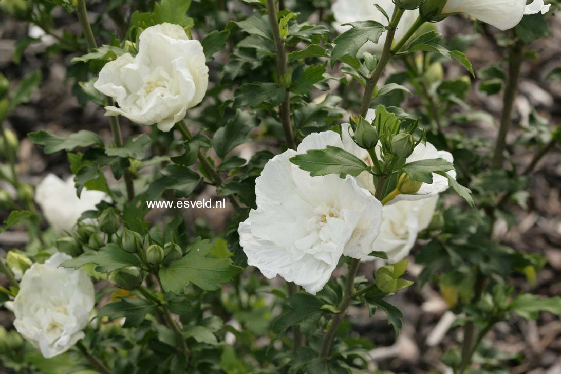 Hibiscus syriacus 'Notwood Two' (WHITE CHIFFON)