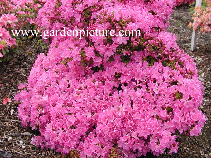 Rhododendron 'Lilac Diamond' (Azalea)