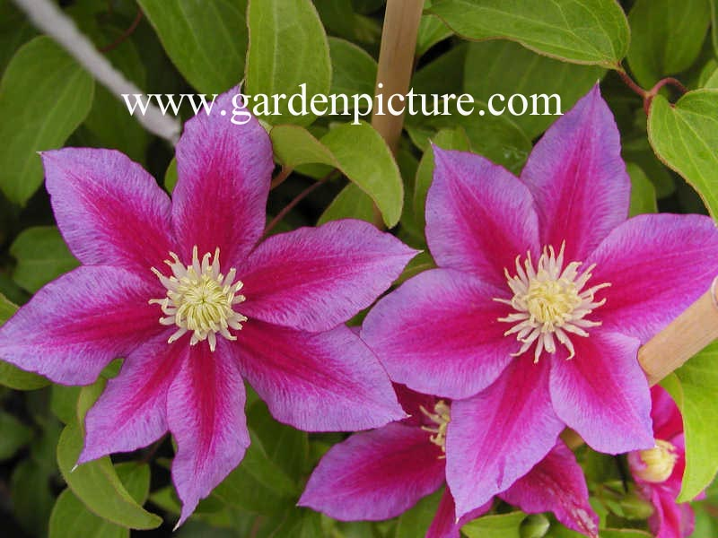 Clematis Red Pearl