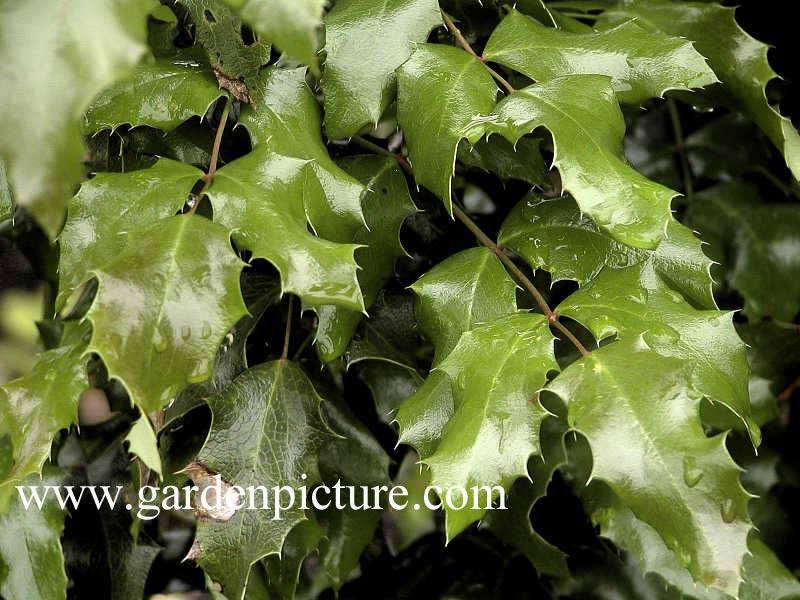 Mahonia aquifolium 'Undulata'