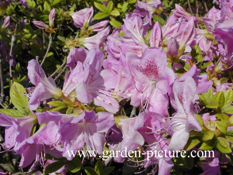 Rhododendron 'Ledicanense' (Azalea)