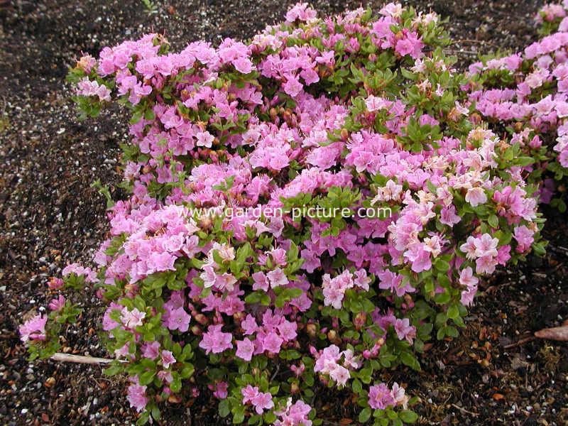 Rhododendron 'Harusame' (Azalea)