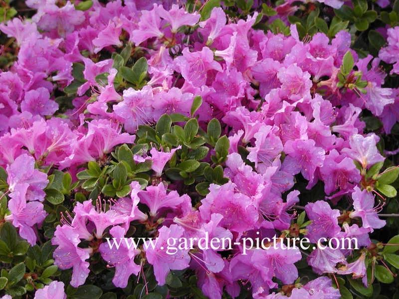 Rhododendron 'Labe' (Azalea)