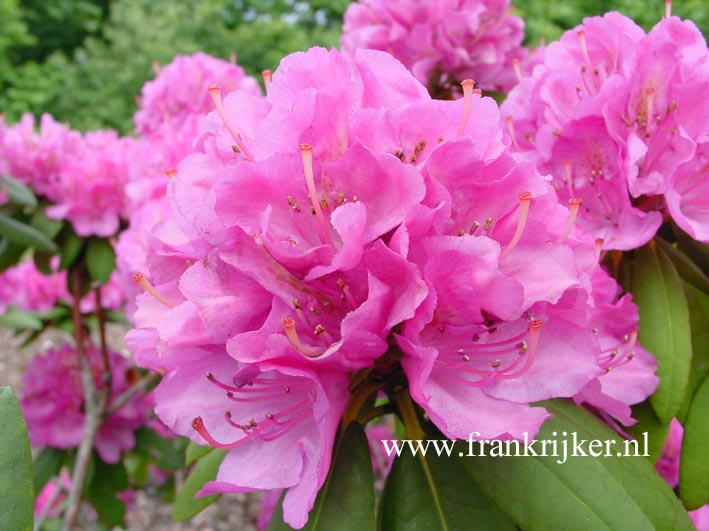 Rhododendron 'Catharine van Tol'