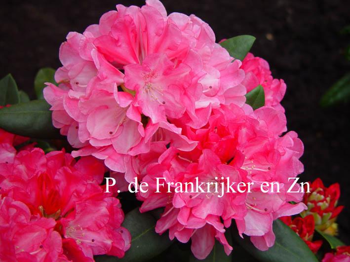 Rhododendron 'Margriet Deetman'