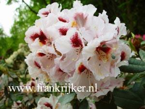 Rhododendron 'Sapporo'
