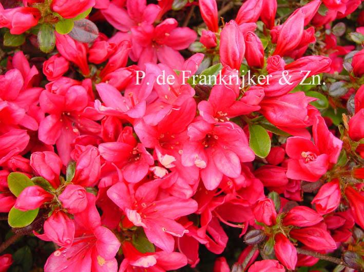 Rhododendron 'Rubinstern' (Azalea)