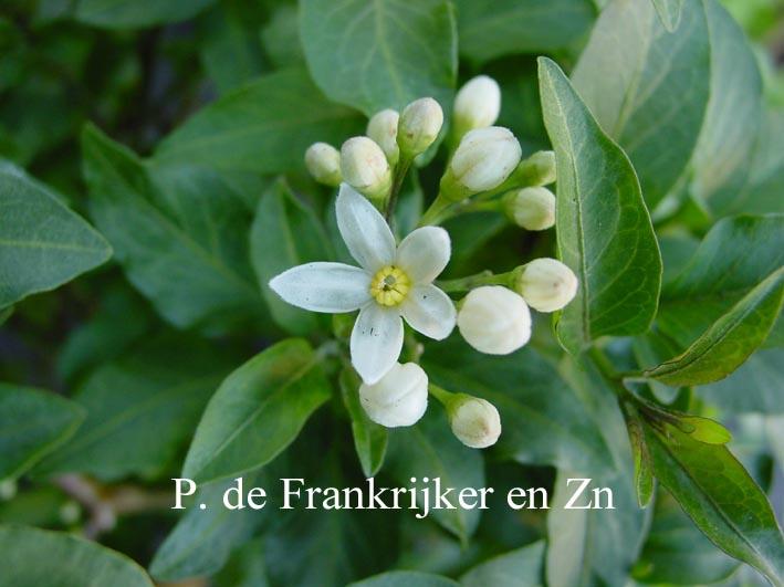 Solanum jasminioides 'Albiflorum'