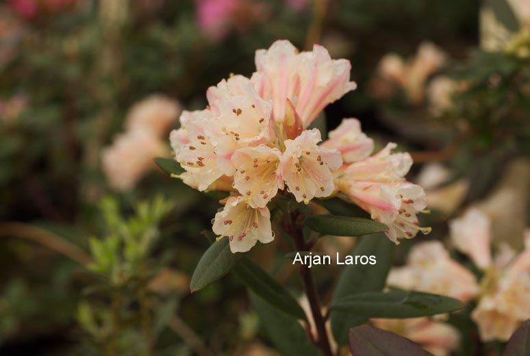 Rhododendron 'Wheatear'