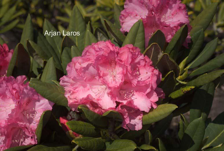 Rhododendron 'Isadora'