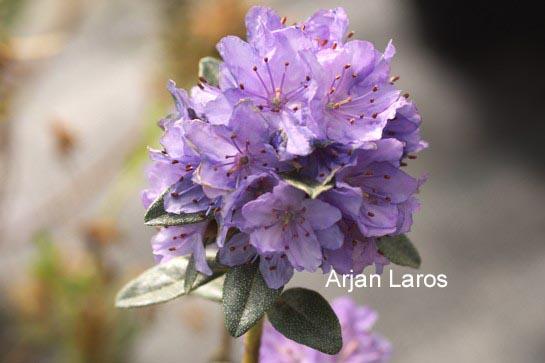 Rhododendron tsaii