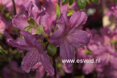 Rhododendron 'Johann Sebastian Bach' (Azalea)