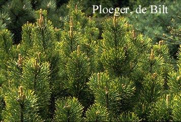 Pinus mugo 'Pal Maleter'