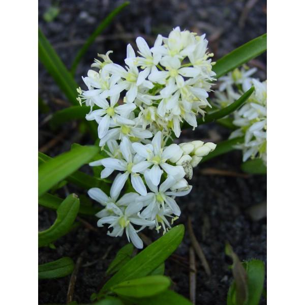 Scilla bifolia 'Alba'