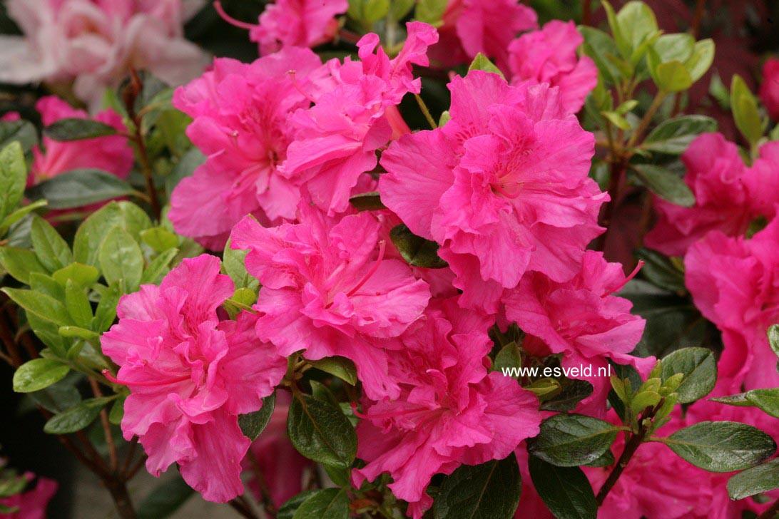 Rhododendron 'Hachpett' (PETTICOAT) (Azalea)