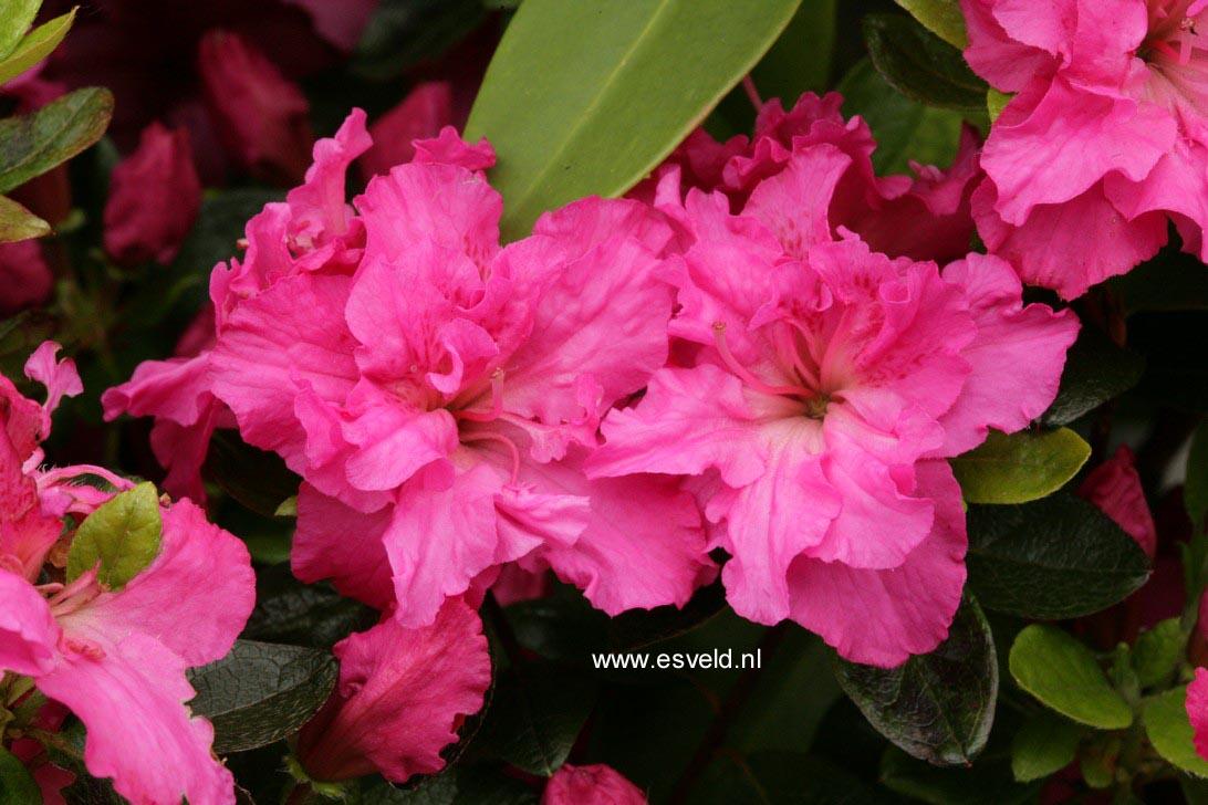 Rhododendron 'Orion' (Azalea)
