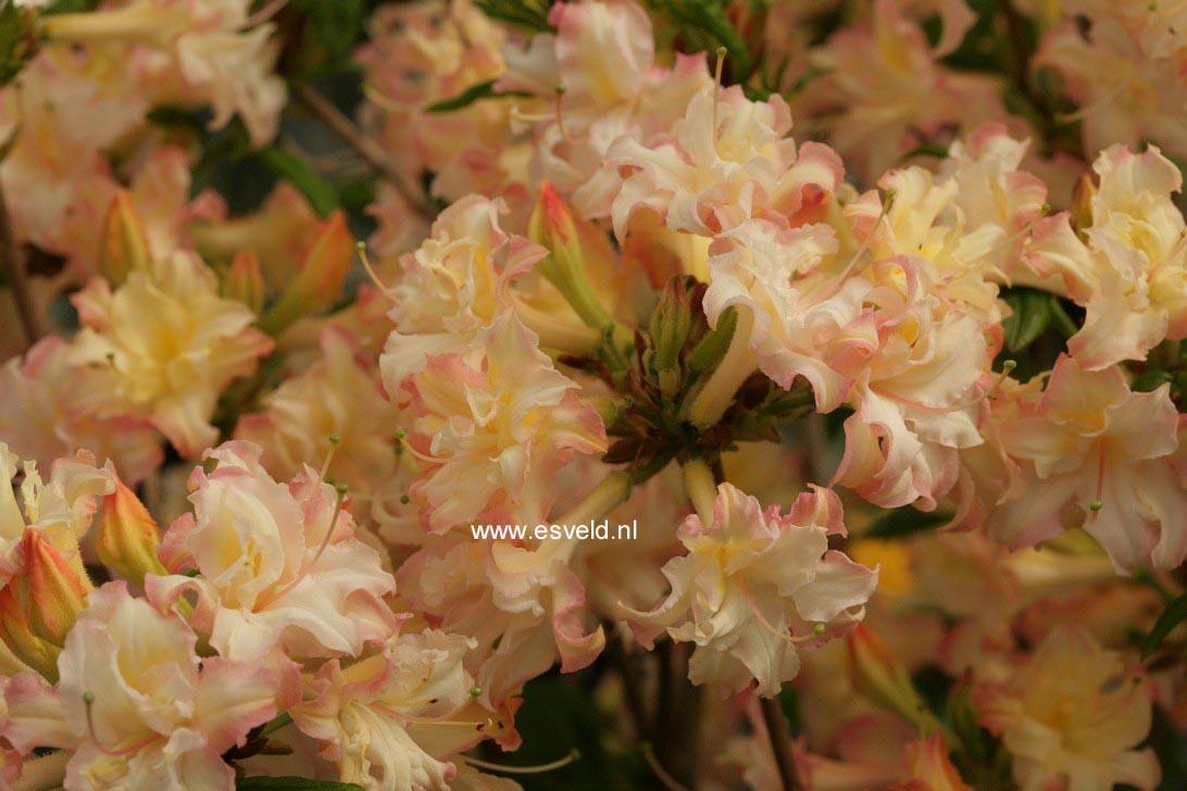 Rhododendron 'Fenelon' (Azalea)