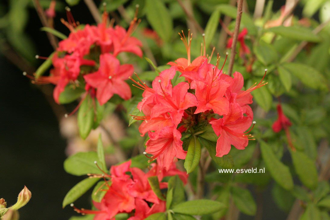 Rhododendron 'Fritz Quihou' (Azalea)