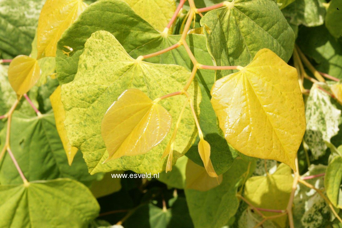 Cercis canadensis 'The Rising Sun' (IN2)
