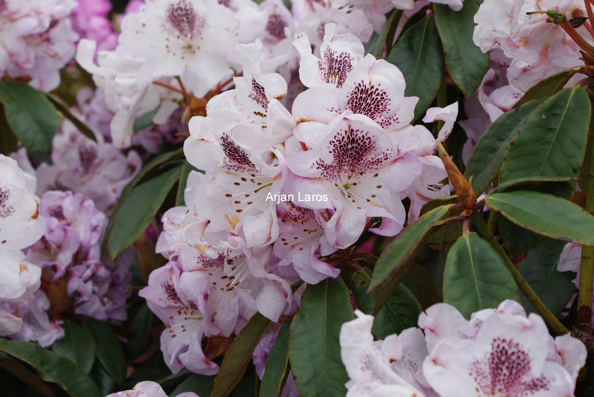 Rhododendron 'Clementine'