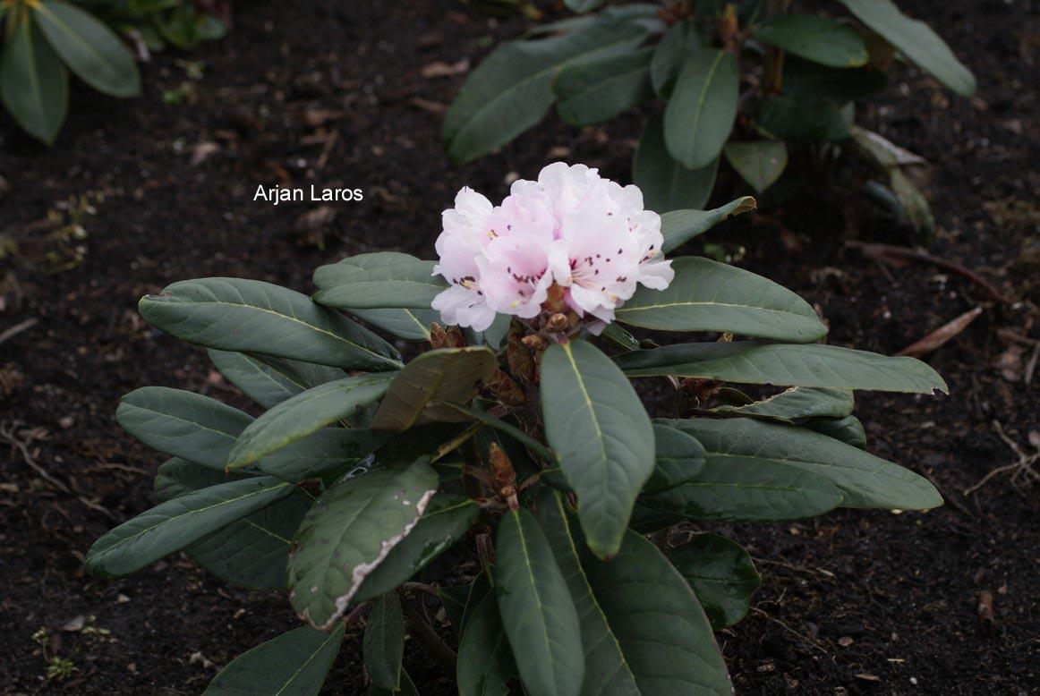 Rhododendron recurvoides
