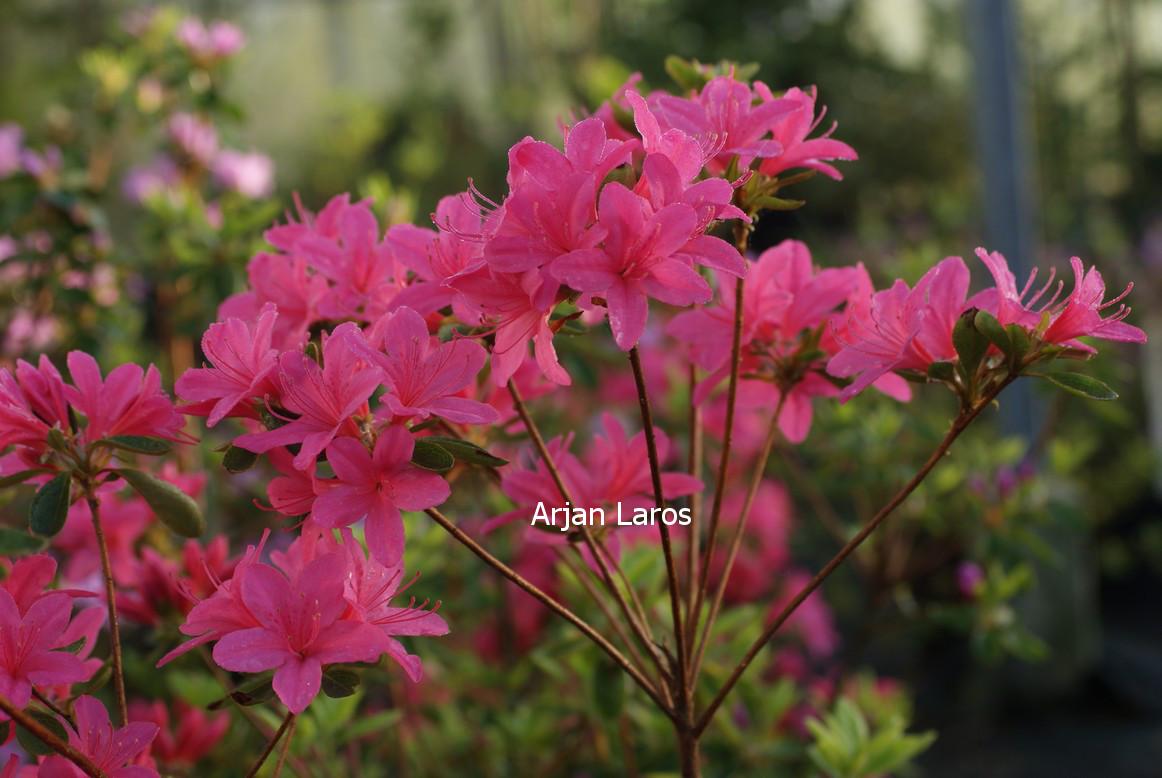 Rhododendron 'Victorine Hefting' (Azalea)