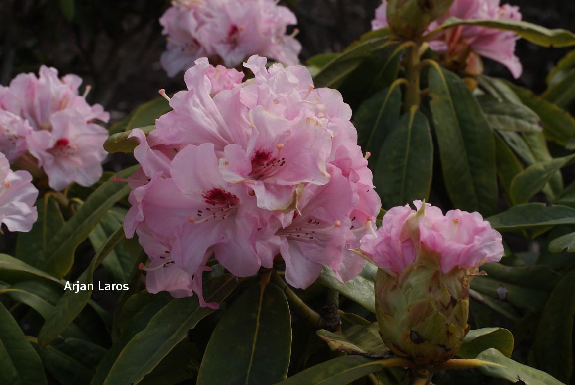 Rhododendron 'Octavia'