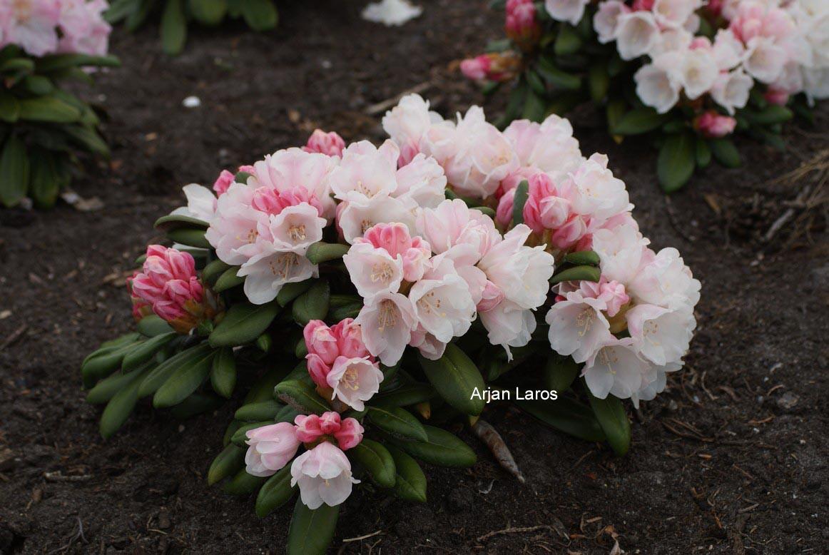 Rhododendron 'Hanano Ego'